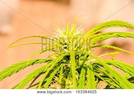 Cannabis Marijuana Leaf Plant Detail