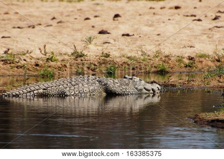 Nile crocodile in the shallow water souranded by sandy coast