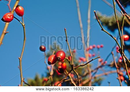 Ripe rosehips on a background of blue sky winter