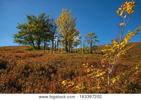 Yellow trees and red bilberry bushes against blue sky background.