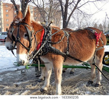 Two mules hooked up to a sleigh for a winter sleigh ride though  a park.