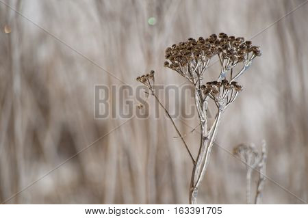 An abstract decorative brown and white image of ice covered yarrow flowers in winter closeup