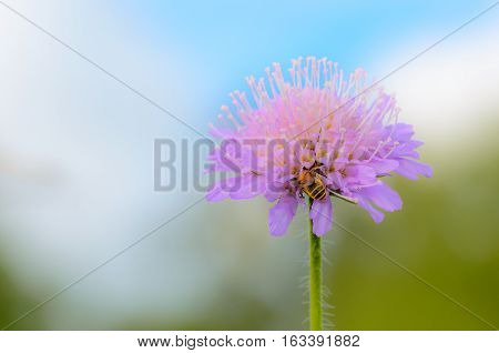A bee pollinates a flower with large stamens