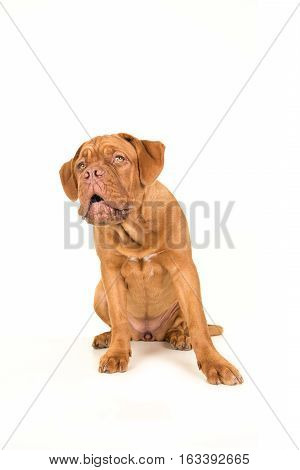Cute bordeaux dogue looking up with its mouth open on a white background