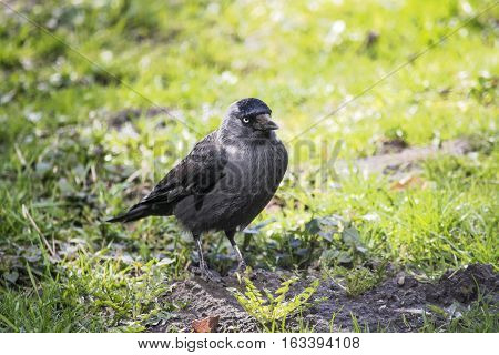 The western jackdaw (Corvus monedula) on the green grass during the first days of spring. Black bird