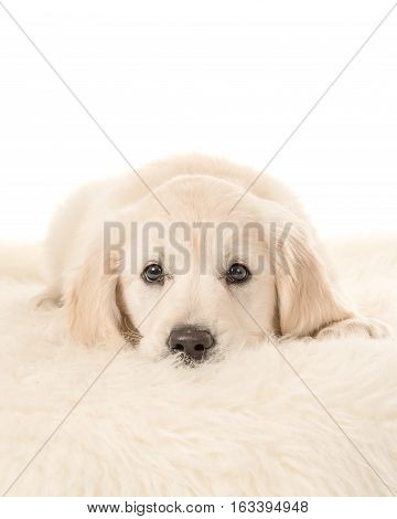 Cute blond golden retriever puppy lying down facing the camera lying on a fur on a white background