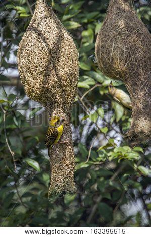 Baya weaver nest in Minneriya national park, Sri Lanka ; specie Ploceus philippinus family of Ploceidae