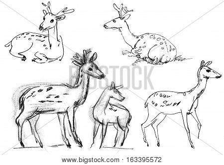 Sika deer. Set. Hand-drawn. Isolated on white background