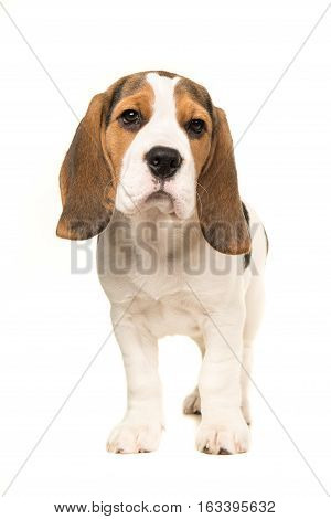Cute beagle puppy dog standing facing the camera isolated on a white background