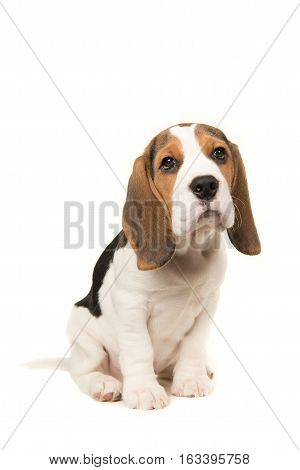 Cute beagle puppy dog sitting leaning forward facing the camera on a white background