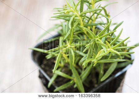 Rosemary growing in the black pot. Closeup. Fresh herbs in the kitchen