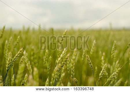 green ears of wheat in a field wheat crop