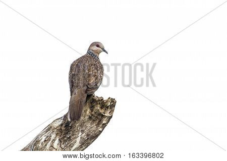 Spotted dove isolated in white background ; specie Streptopelia chinensis family of Columbidae
