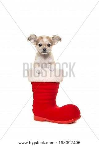 Cute chihuahua puppy facing the camera sitting in santa's boot on a white background