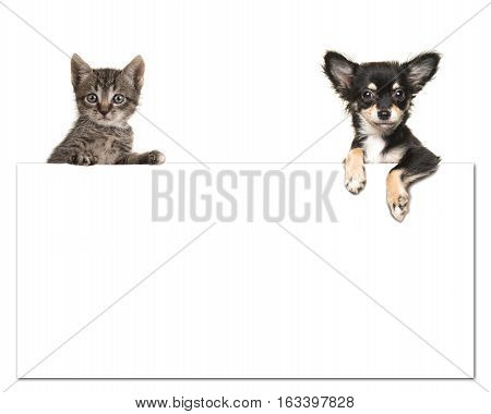 Cute chihuahua dog and a tabby baby cat holding an white paper board with room for text on a white background