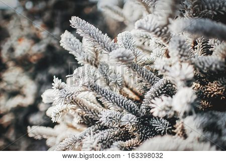 Frost pine branch snow winter tree cold background photo stock