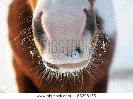 Nose of a pinto horse in winter weather