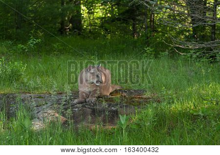 Adult Female Cougar (Puma concolor) Crouched on Rock - captive animal