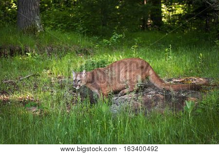 Adult Female Cougar (Puma concolor) Stands Facing Left - captive animal