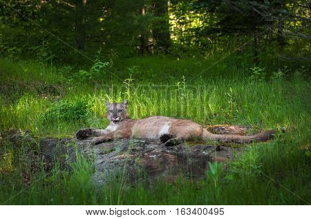Adult Female Cougar (Puma concolor) Lies on Rock Tongue Out - captive animal