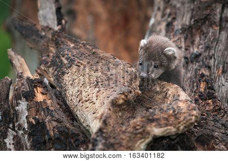 Fisher (Martes pennanti) Kit Peeks Over Bark - captive animal
