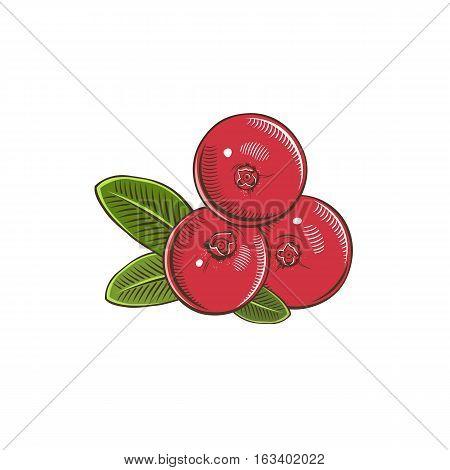 Cranberry in vintage style. Line art illustration.