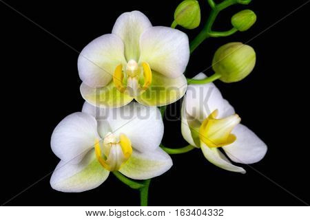 Close-up of white-orange orchid flower. Zen in the art of flowers. Macro photography of nature.