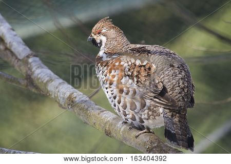 Hazel Grouse (Tetrastes bonasia) resting on a Branch in a Forest