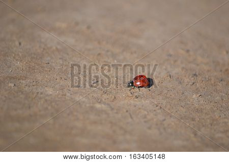 Ladybird Beetle or Ladybug showing off its shiny red wings with black spots