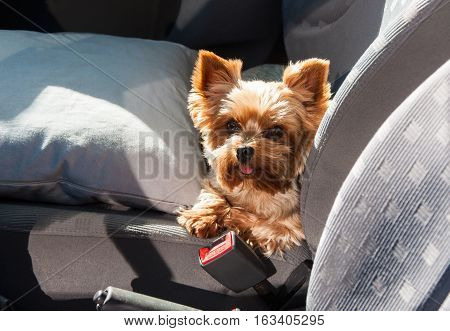 Beautiful Puppy yorkshire terrier in the car