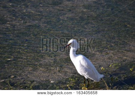 Snowy Egret walking along the shores at the Bolsa Chica Ecological Reserve in Southern California