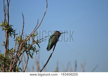 hummingbird perched on a branch. Seen early winter in Bolsa Chica Ecological Reserve, Huntington Beach California