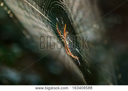 Spiders(Argiope versicolor)-Spiders on webs in morning ligh.