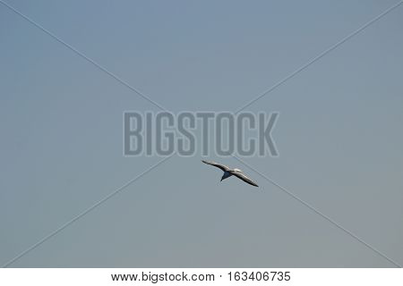 Seagull in flight searching for food in Bolsa Chica Ecological Reserve in Southern California