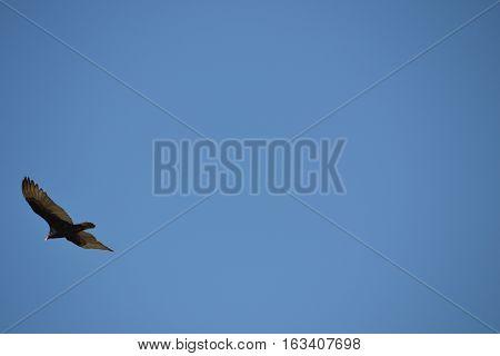 Turkey Vulture(Turkey Buzzard)  in flight at Bolsa Chica Ecological Reserve. located in the city of Huntington Beach, Orange County, California.