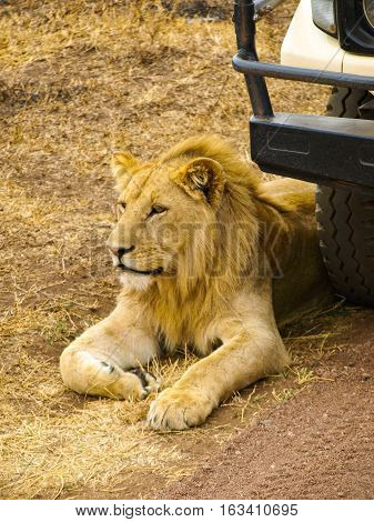Lion lying in front of the car as a guard. Safari wild drive in Kenya, Africa
