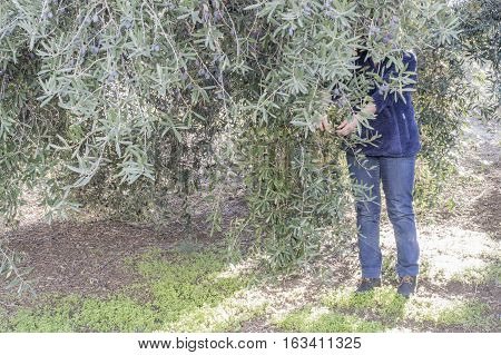 A person collects black olives with hands for the elaboration of olive oil