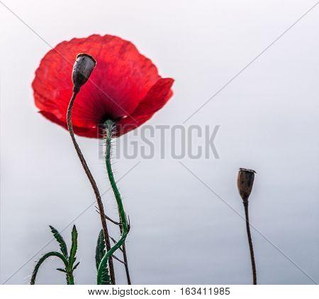 lone poppy flower in the gray background