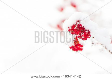 Red Ashberry And White Snow
