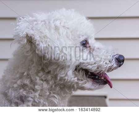 A profile photo of a dog panting due to the heat.