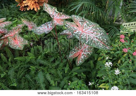 Caladium or Elephant ear surrounded by a bush of ferns