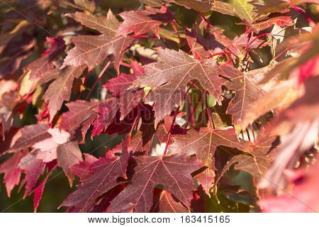 Leaves on a maple tree changing to a reddish color in Autumn.