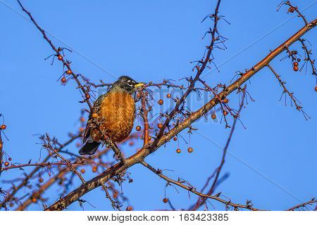 A small pretty robin is perched in a tree set against a sunny sky.