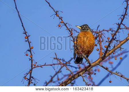 Robin in tree on small branch set against a sunny sky.