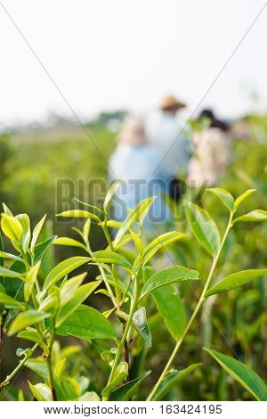 Asia culture concept image - view of fresh organic tea bud & leaves plantation with people the famous Oolong tea area under sunrise and morning blue bright sky in Taiwan