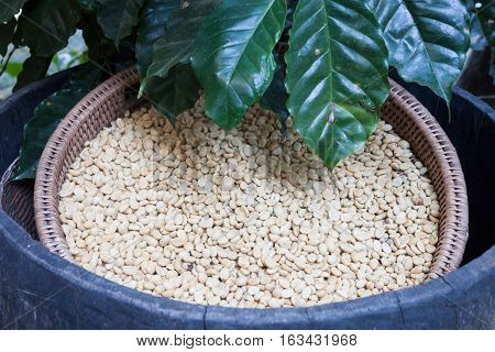 Raw coffee beans in tray, stock photo