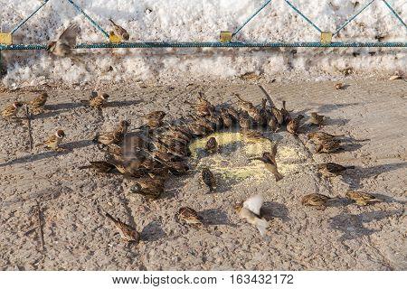 flock of sparrows eating millet in winter