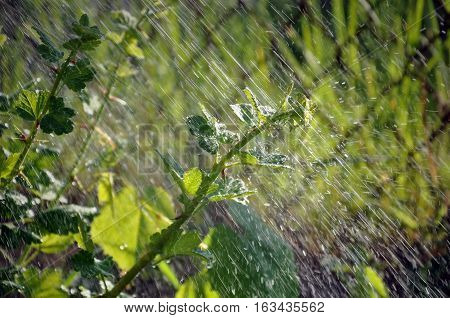 Process of watering the garden plants. Green gooseberry branch under the falling water drops in motion in sunlight.