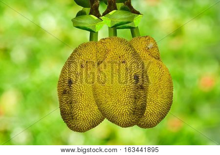 Group Jackfruit isolate on green nature background