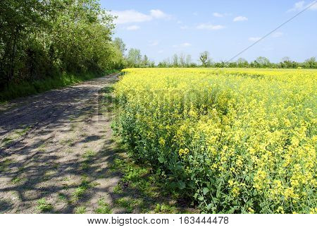 Dirt pathway around the edge of a rapeseed field in Gloucestershire United Kingdom